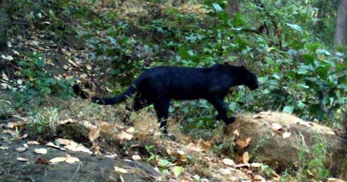 Odisha: Rare black panther spotted in Garjanpahad reserve forest in Sundargarh district