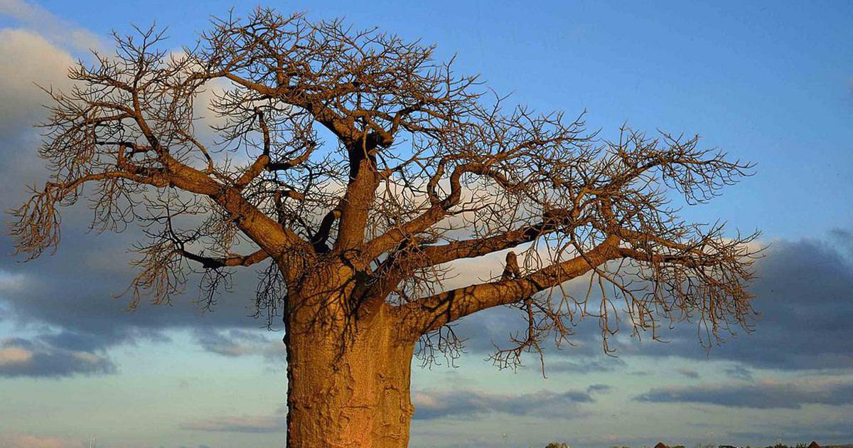 Africa's ancient baobab trees are being killed by climate change
