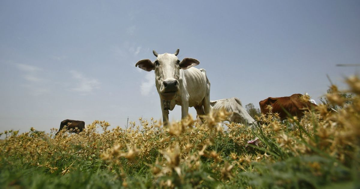 National Green Tribunal asks states to submit data on steps taken to protect local cow breeds