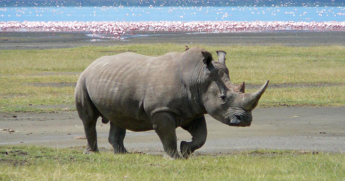 Could introducing rhinos to Australia help conserve them? The idea may not be as crazy as it sounds