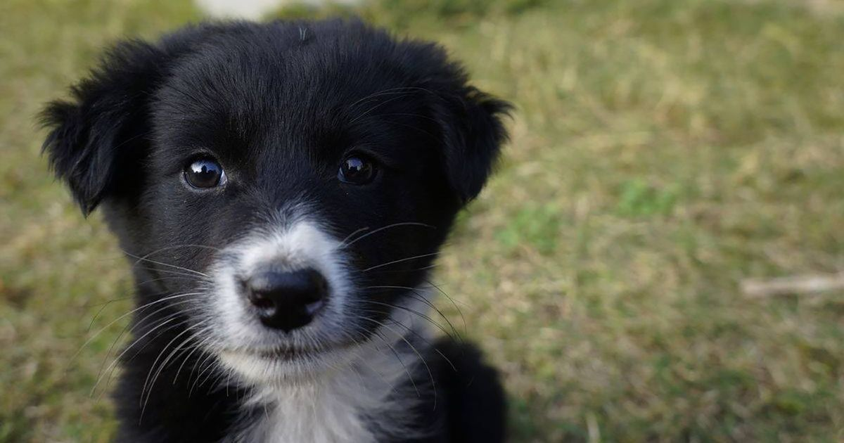 Centre notifies rules to regulate pet trade; only micro-chipped puppies can now be sold