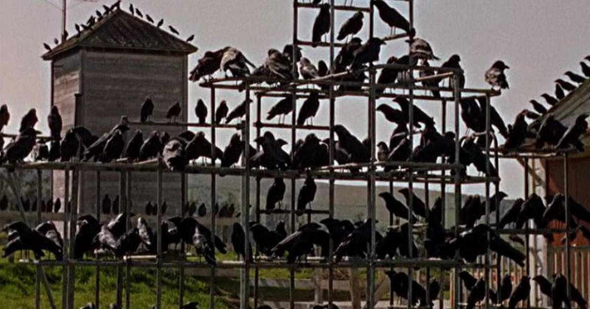 Now where have we seen birds on the rampage before? In Alfred Hitchcock's film, that's where