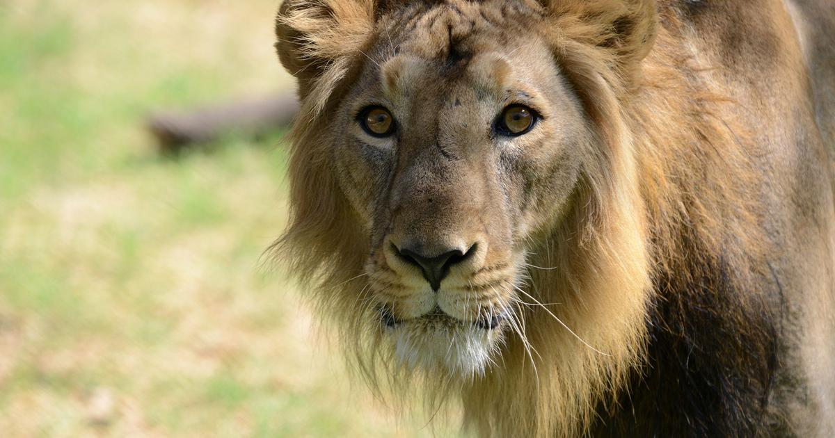 Gujarat: Eleven lions found dead in Gir forest, state government orders inquiry
