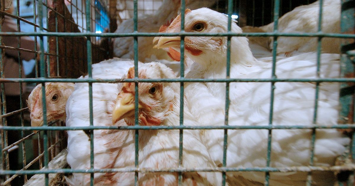 Delhi High Court bans chicken slaughter at Ghazipur poultry market, allows sale of live birds
