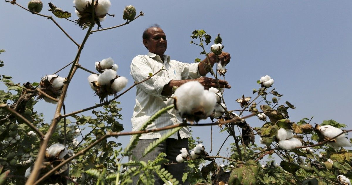 Illegal variants of Bt cotton are growing popular in India, further threatening indigenous crops