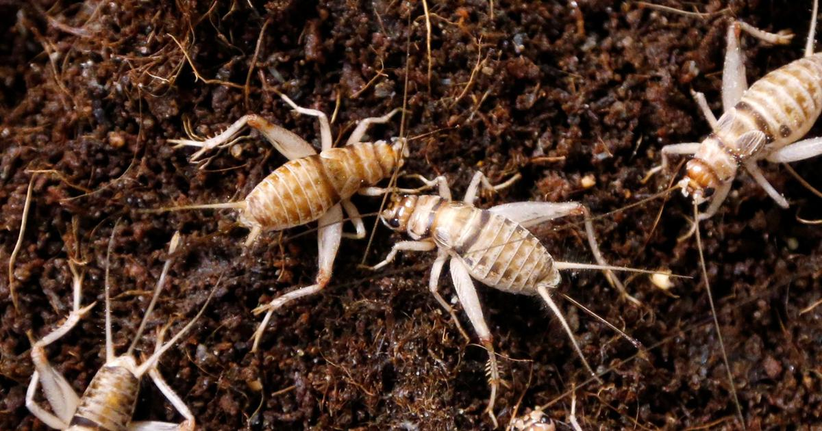 As Kenyans catch the superfood bug, rearing of crickets becomes big business