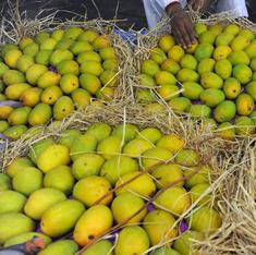 Is the Alphonso really the king of mangoes? North Indians obdurately beg to differ