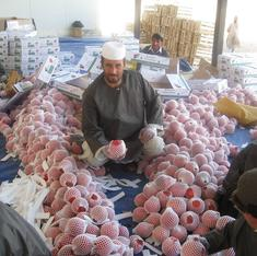 The perilous journey of a famed pomegranate from Kandahar to India