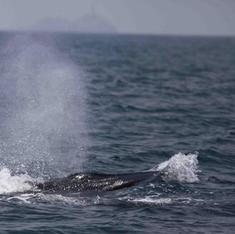 Why the sightings of rare blue whales off the Konkan have thrilled scientists