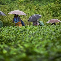 Climate change is wreaking havoc in the world's largest tea-growing area