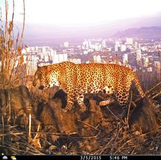 How leopards came to live peacefully with Mumbai's residents