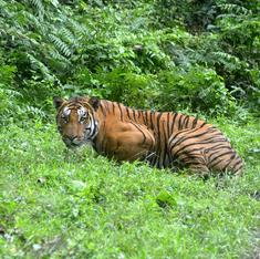 India's tiger population may be rising but the animals are still caught in conflict