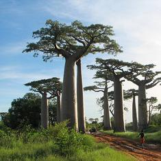 Baobab trees trace the African diaspora across the Indian Ocean