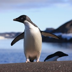 1,50,000 penguins die after massive iceberg makes them landlocked