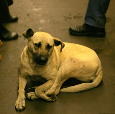 How did Moscow's stray dogs learn to navigate the metro?
