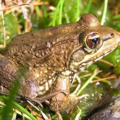 The future for frogs looks bleak, unless humans change their habits
