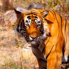 More tigers killed in the past four months than the whole of 2015, shows Indian wildlife data