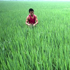 Why rice growers in China are more sexually liberal than wheat growers