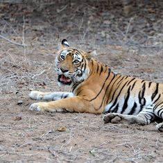 The tigress Machhli  is dead. Here's how she was kept alive