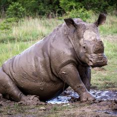 Rhinos from two parks in West Bengal to get new homes
