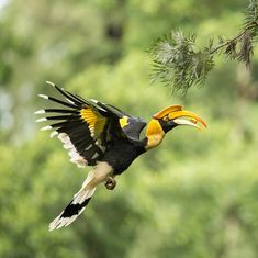 Hunters turn protectors of threatened hornbills in North East India