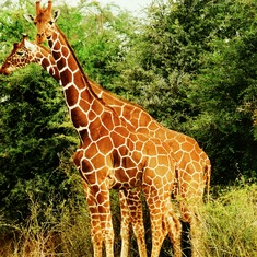 Why did the world once believe that giraffes came from India?