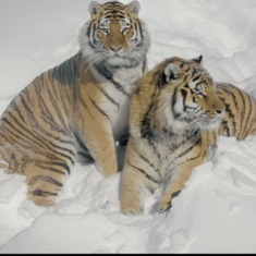 This drone video of tigers in their natural habitat makes for a splendid start to 2017