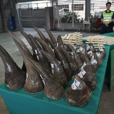 Why is the illicit rhino horn trade escalating?