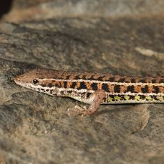 How lizards revealed the millennia-old evolution story of India's grasslands