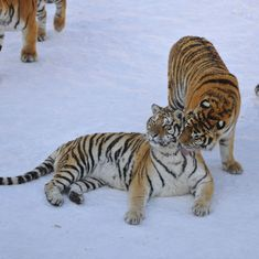 As long as China has its tiger farms, wild tigers in Asia are on borrowed time