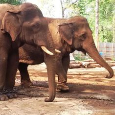 A nationwide exercise is on to count India's elephants – with a little help from their droppings