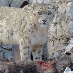 Snow leopards eat farm livestock because there's not enough wild prey – well, not really