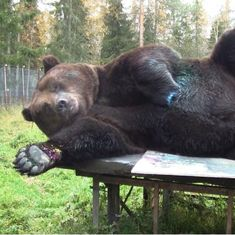 Watch: Finland's newest hit artist is a half-ton brown bear named Juuso