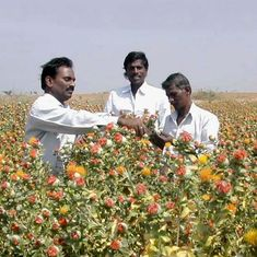 With few takers for safflower oil, farmers are moving away from this healthy, hardy crop