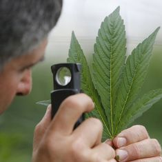 Should medical marijuana be legalised in India? Palliative care doctors are divided