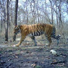 How researchers helped repopulate a tiger habitat in Nepal