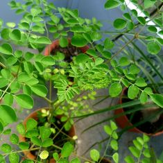 Apart from its many other benefits, India's Moringa plant can be used to treat chronic diseases too