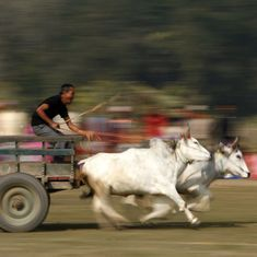 Bombay High Court refuses to lift ban on bullock cart races in Maharashtra