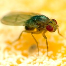 Lab notes: Stem cell discovery in fruit flies may help understand muscle disorders in humans