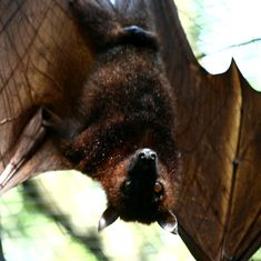 Can bats – the carriers of many deadly diseases – help humans survive the next pandemic?