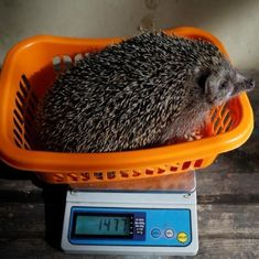 Video: Hedgehogs put on a diet in Israel after the spiny mammals ate too much on the streets