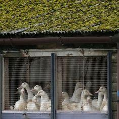 Avian flu kills 230 birds on Netherlands farm, over 37,000 culled