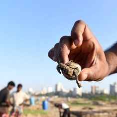 The Olive Ridley sighting in Mumbai may not be as rare as imagined