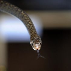 Lab notes: Bael extracts have the potential to neutralise cobra venom, finds study