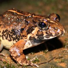 New frog species named after state of Goa is found in abundance but has only just been documented