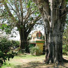 As urbanisation destroys Bengaluru's green cover, religious spaces preserve native tree species