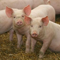 Experiments to bring pigs back to 'life' show why immortality for humans isn't a great idea