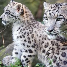 A photographer is using hidden cameras to help study the elusive snow leopard in the Himalayas