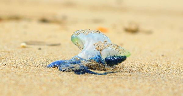 'Waterproof fish': Look beyond the venom of these monsoon visitors to Indian beaches