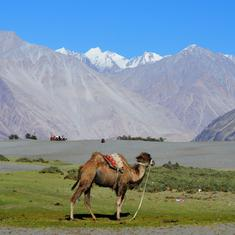 Bactrian camels, the survivors of the Silk Route, are plying a new trade in Ladakh